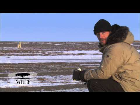 NATURE | Bears of the Last Frontier | A Polar Bear Approaches | PBS