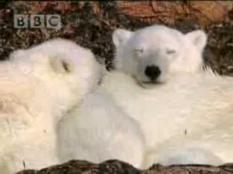 Country bear and cute baby cubs - BBC wildlife