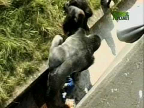 WTF: Toddler Falls in Gorilla Cage