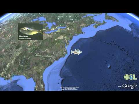 Atlantic Bluefin Tuna Podcast Google Earth Tour