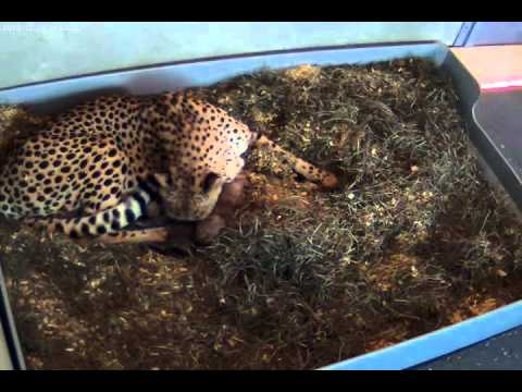 SCBI Cheetah Cubs: December 29, 2010 (video 1)
