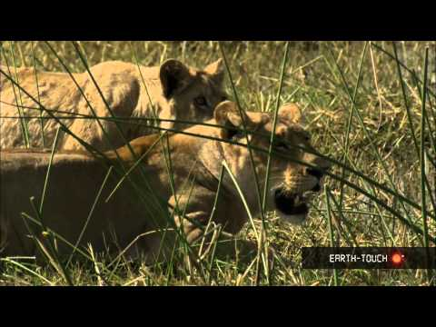 Lions of Moremi Highlights 13