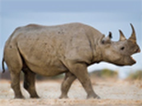 National Geographic Live! - Tracking the Rare Black Rhino