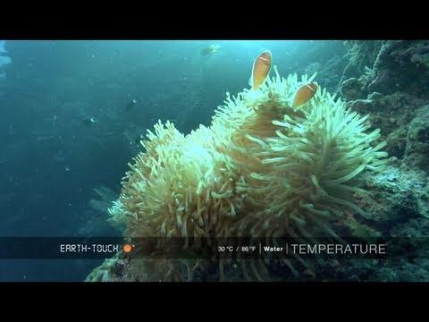 Weird crocodile fish lurks on coral reef