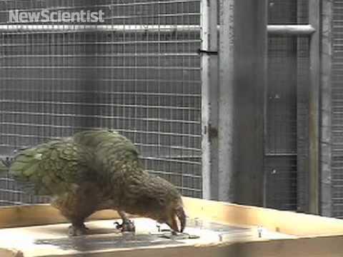 Parrot unlocks box