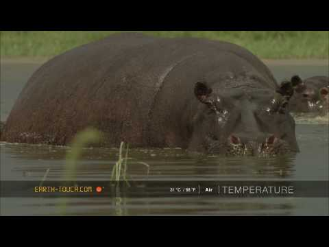 Restless hippos in an African storm