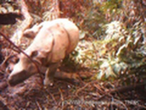 Rarest Rhino Filmed