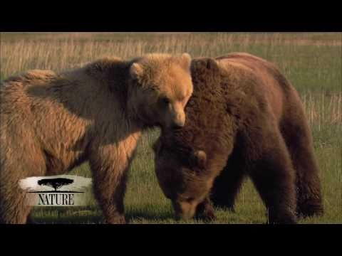 NATURE | Bears of the Last Frontier | The Scent of a Bear | PBS