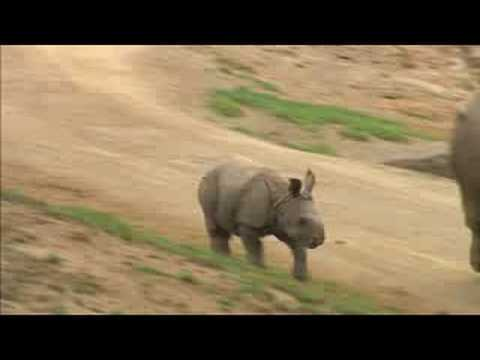 RHINO CALF COMES OUT TO PLAY