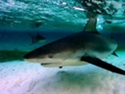 Shark Week - Shark City | Sharking in the Shallows
