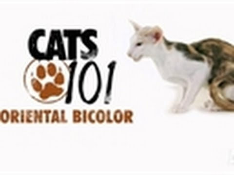 Oriental Bicolor | Cats 101