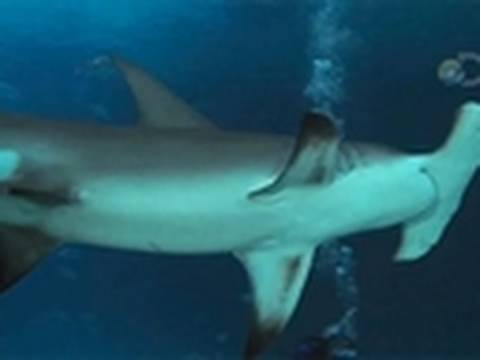 Underwater With Sharks