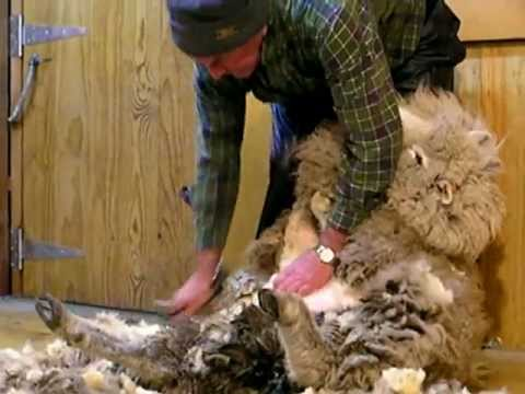 Shearing Sheep, New Zealand