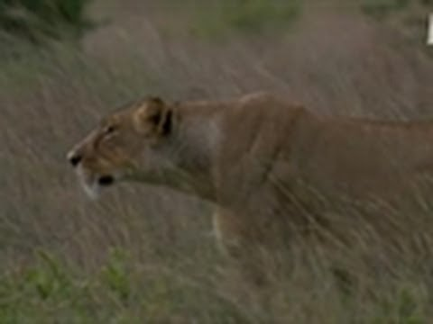 Lioness Hunts Wildebeest Calf | Wild Kingdom