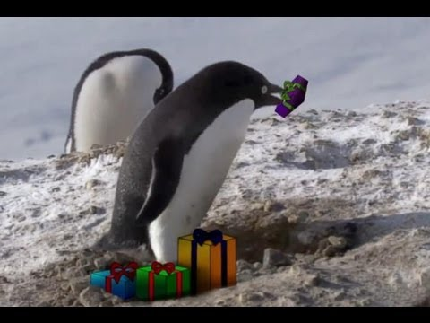 'Criminal' penguin strikes at Christmas! - Frozen Planet - BBC