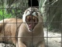 Mountain Lions of Big Cat Rescue!