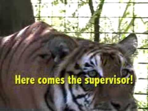 TIGER Home Improvements! - Big Cat TV