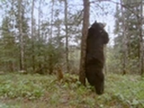 Black Bear Scent-Marking | Wild Kingdom