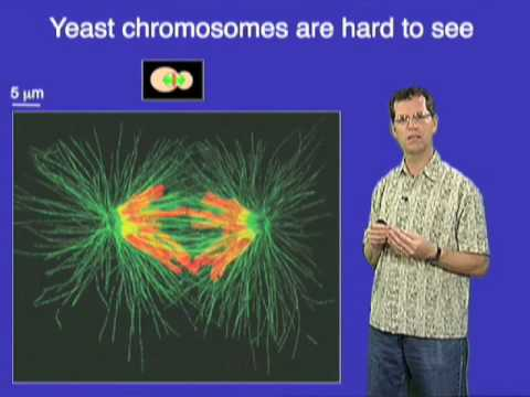 David O. Morgan (UCSF) Part 3: Controlling the Cell Cycle: Anaphase Onset
