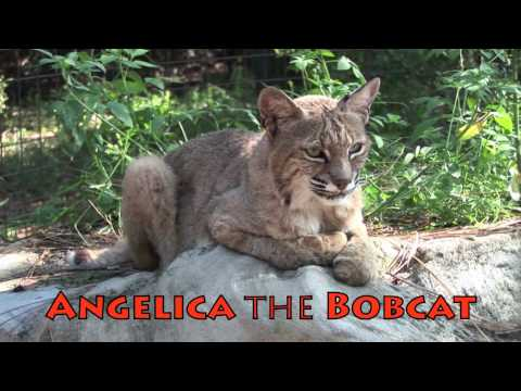 ANGELICA the BOBCAT