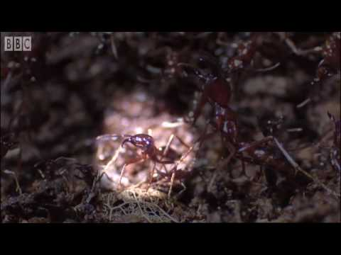 Grasshoppers vs. Driver Ants - Ant  Attack - BBC Earth