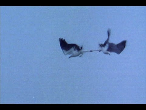 Animal Summer Games: Eagles Fight in Midair