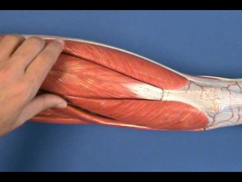 Leg Model - Thigh - Anterior Compartment