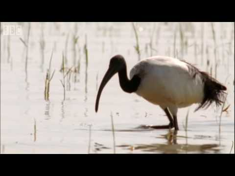 Nile Ibis Birds Create Swimming Pools - BBC Earth