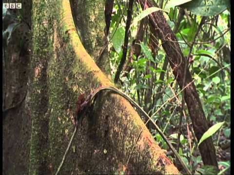 Leaf-cutter ants - Shadow of the Sun - BBC