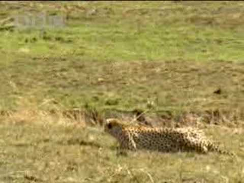 Cheetah vs gazelle - BBC wildlife
