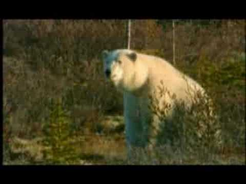 NATURE | Arctic Bears | Preview | PBS