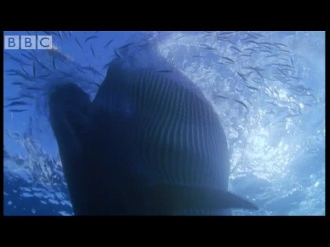 Sei Whale Feeding Frenzy - Blue Planet - BBC wildlife