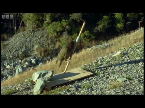 Wheelie bin raid - Kea - The Smartest Parrot - BBC