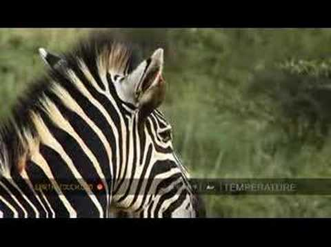 Zebra stallion scents mare in oestrus