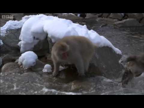 Snow monkeys at play - BBC