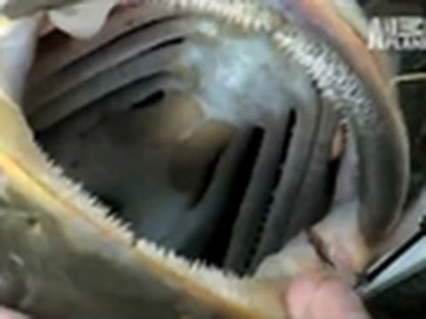 River Monsters- Snake-Like Catfish | Lost Reels