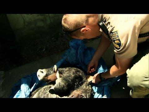 Wild Justice - Pig Stalkers