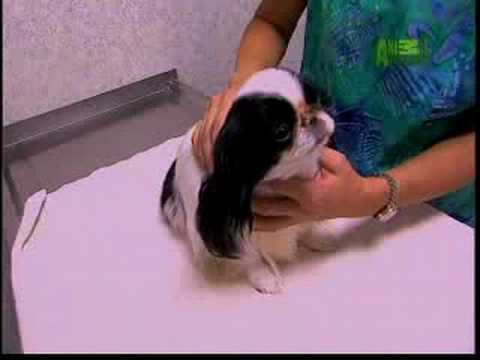 Breed All About It - Japanese Chin