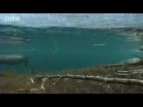Beavers in the Snow - BBC Animals