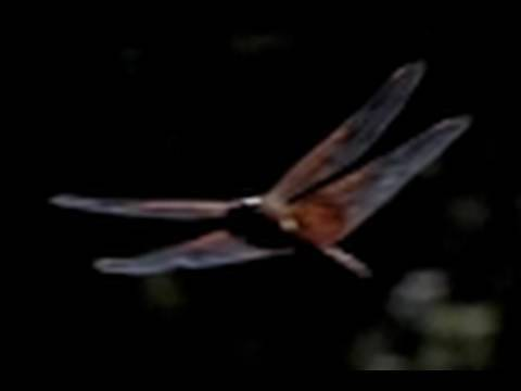 DRAGONFLY HUNTING Slow Motion 300 fps Casio Exilim EX-F1