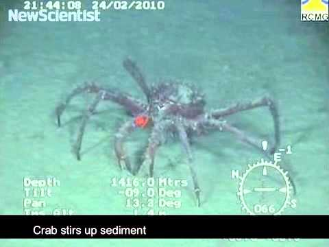 Giant crabs invade Antarctic seafloor