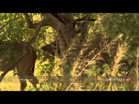 Kudu antelope defends mating rights