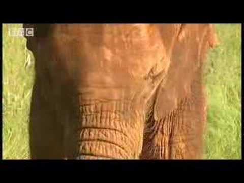 Baby elephant mourning - BBC wildlife