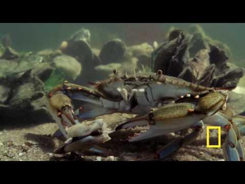 Animal Attack! Blue Crab vs. Clam