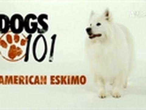 Dogs 101: American Eskimo