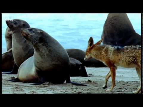 Cape fur seal pups vs black back jackalls - Dune - BBC Earth