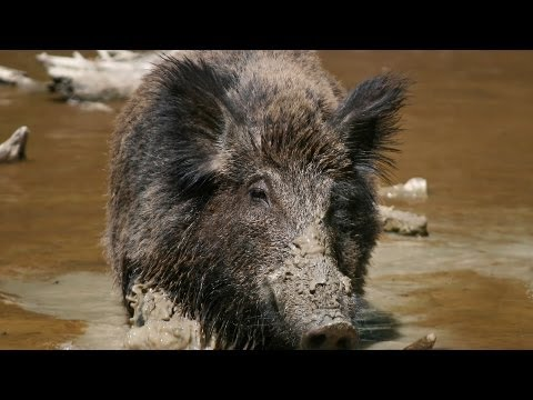 Boar Hunting Tips | Archery and Bow Hunting