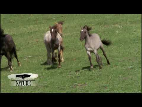 NATURE | Cloud: Challenge of the Stallions | Battle | PBS