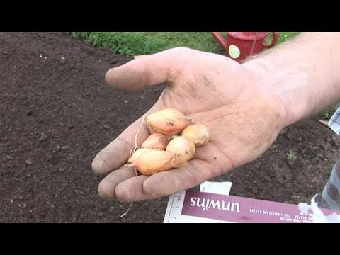 How To Plant Onions To The Soil