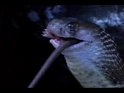 Cobra Devours Rat